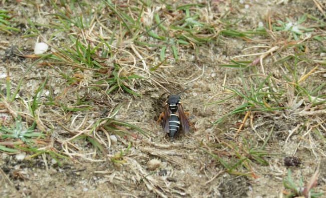 I undertook 6 weeks of volunteering at the National Trust based in the Isle of Purbeck. During this time I was able to shadow leading property ecologists. I took part in botanical surveys and spent time in the field learning about the heathland and grassland ecosystems and particular species of interest such as the Purbeck mason wasp (Pseudopipona herichii). During office days I would help to collate and input data to an online database called 'Living Record' as well as carrying out other research and producing species distribution maps using GIS software.