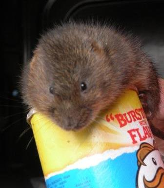 My role with The Wildwood Trust required me to work along side their water vole captive breeding scheme. My main roles and responsibilities included: pairing the animals, undertaking health checks, ensuring they were given fresh food and water each day and keeping a record of their behaviour once they had been paired.
